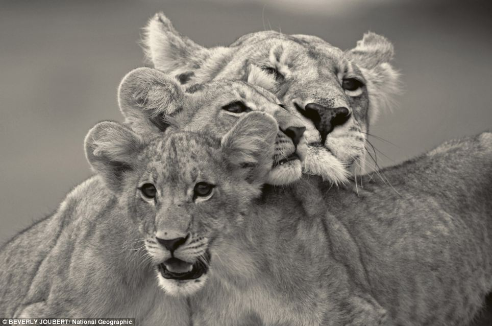 A lioness and her cubs huddle together