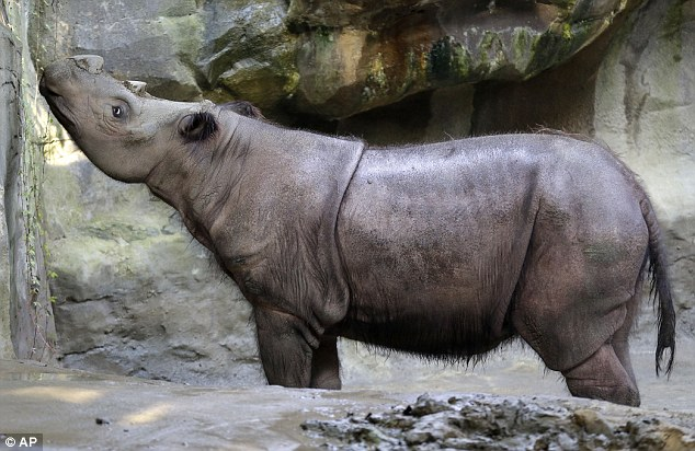 Last ditch effort: The Cincinnati Zoo will attempt to breed Suci, 8, with her 6-year-old brother Harapan in order to keep the species from extinction