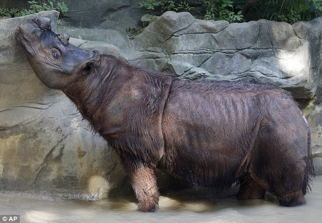 Desperate: Harapan, 6, is the last male Sumatran Rhino in North America, and his sister Suci the last female