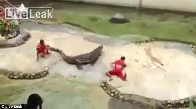 Lucky escape: A tourist capture the scenes on a camera phone as the angry croc released the trainer