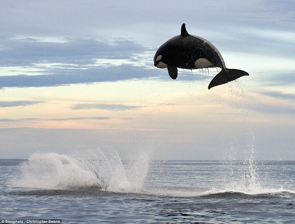 Image result for 8 Ton Orca jumping 15ft out of the water