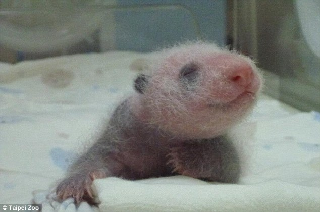 Miracle baby: Tuan Tuan is mother Yuan Yuan's first cub after Zoo officials tried for three years to impregnate her through artificial insemination