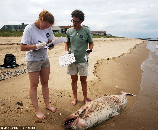 Scientists are working to unravel the cause of a surge in the number of dolphin deaths as a number of stranded mammals have been found beached along East Coast US states