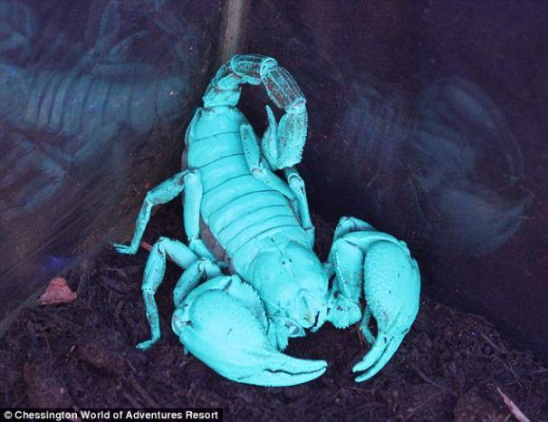 article 2386178 1B2F30B0000005DC 604 634x488 Curioso escorpión se pone azul en luz ultravioleta [Ciencia]