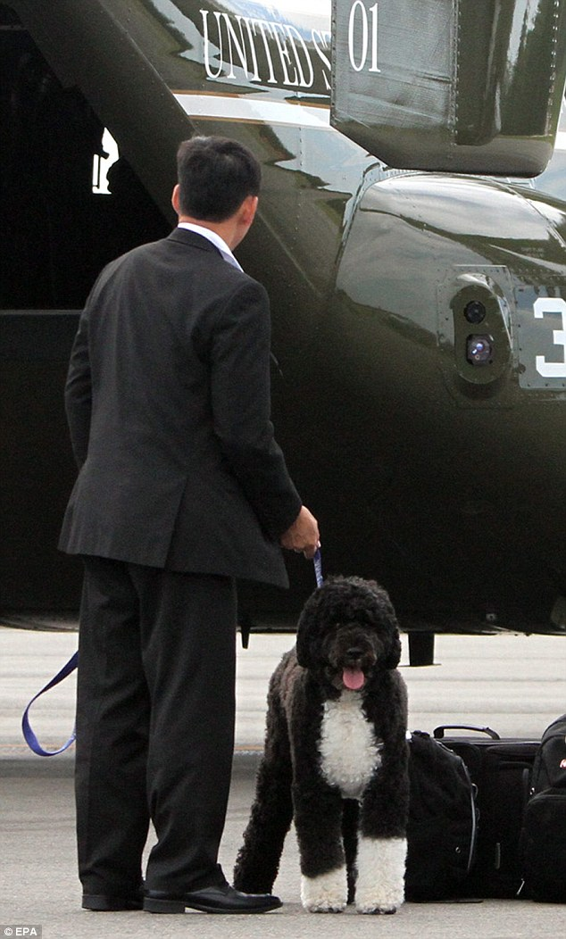 Bo came too!: Bo, the First Family's Portuguese waterdog, departs a Marine helicopter, as US President Obama and the First Lady landed at Martha's Vineyard
