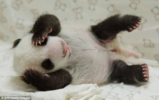 Heart-melting: Little girl Yuan Zai is being cared for around the clock by staff at Taipei City Zoo, Taiwan