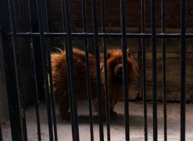 This Tibetan mastiff was kept in the African lion's cage of the People's Park in Luohe, Henan Province
