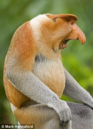 Proboscis Monkey: The monkey is named after its enormous nose