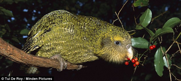 Kakapo: A critically endangered giant parrot, a classic example of evolution on an isolated island - it is the only flightless parrot in the world, and also the heaviest