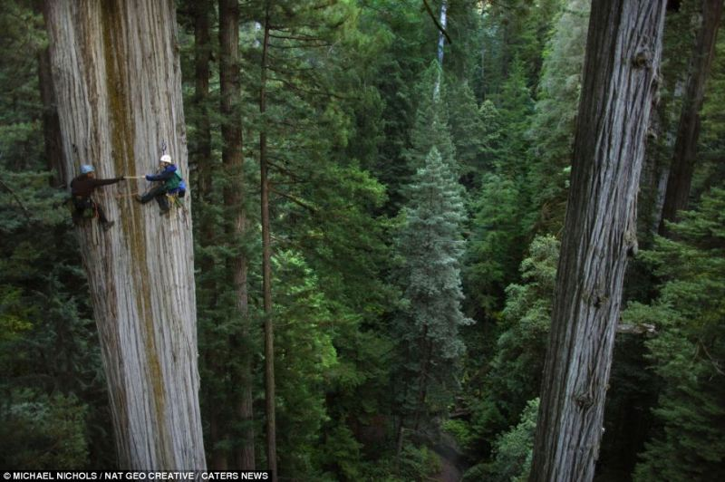 Image result for red wood trees size