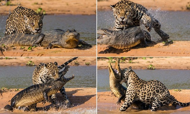 Brutal: The 20-stone cat sunk its teeth into the eight-foot reptile before dragging it back across the water and into the jungle