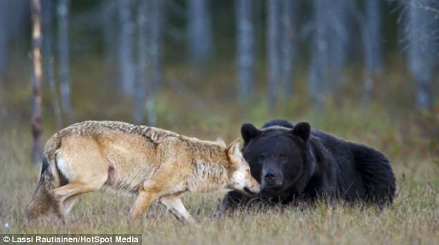 Rare pictures show how the young brown bear and grey wolf would sit down to eat together and even enjoy romantic views over the landscape for up to two-hours