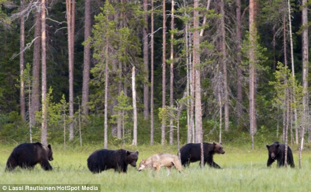 Welcome to the club: The bears seemed to welcome the lone wolf into their company in Finland