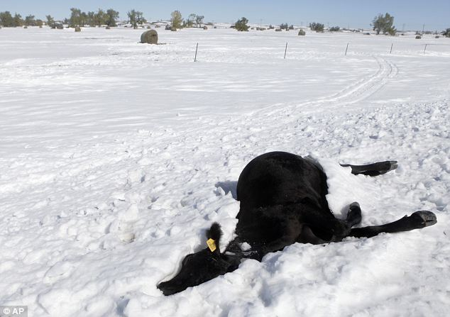 Nightmare: A cow lies dead in the snow in scenes more like an apocalyptic nightmare than the aftermath of a blizzard