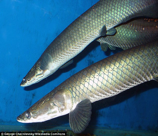 Researchers have discovered the scales of the freshwater fish Arapaima gigas are made up of stacked spiral staircase-like layers covered in collagen, protected by an outer shell. This image shows the latest species of arapaima, called Arapaima leptosome, that has only just been officially classified