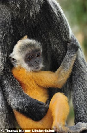 Photographs Chart Baby Langur Monkey Going From Bright