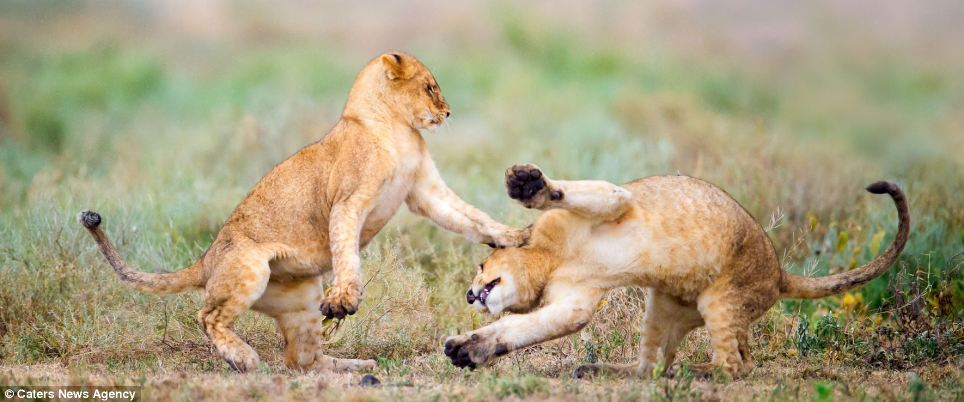 Perfect partners: The images were captured by professional wildlife photographer Win van den Heever, 41, from South Africa, who spent two weeks waiting for the shots of the cubs