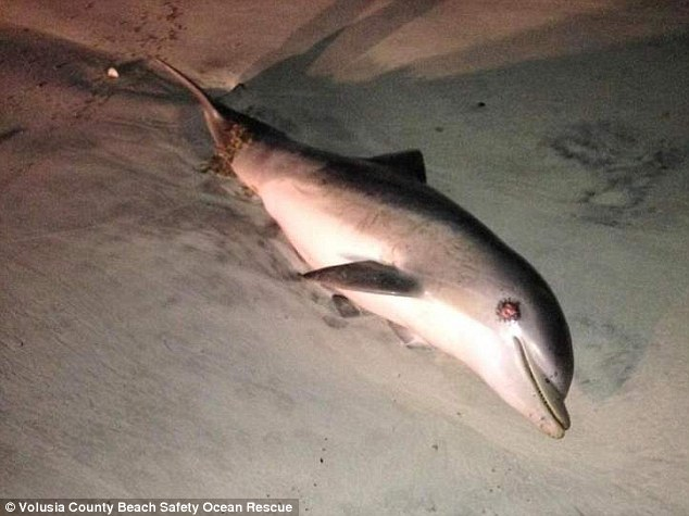 Sad sight: This was one of three dolphins that turned up dead along Flagler County beaches since last weekend