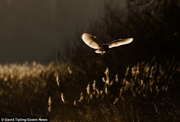 Barn owls, such as this one in North Norfolk, have keen hearing and listen for their prey scuttling along the ground