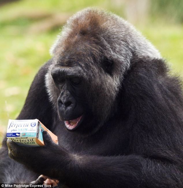 Beauty of the beast: Zoo keepers have been giving Effie the gorilla a daily dose of multivitamin supplements to keep her hair silky, and her skin and nails immaculate in a bid to attract a mate