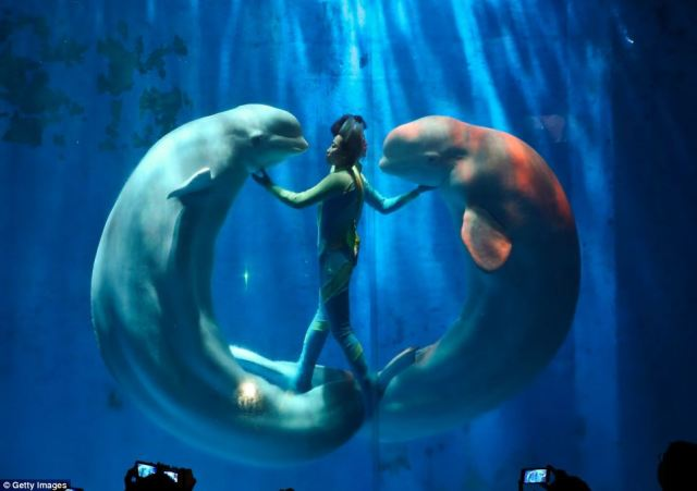 Giant white whales dance in unison with their trainers in ...