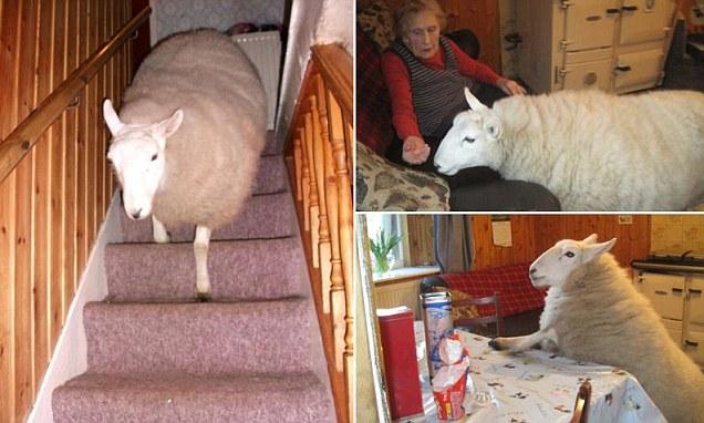 Stuck On Ewe Princess The House Sheep Who Parades Around