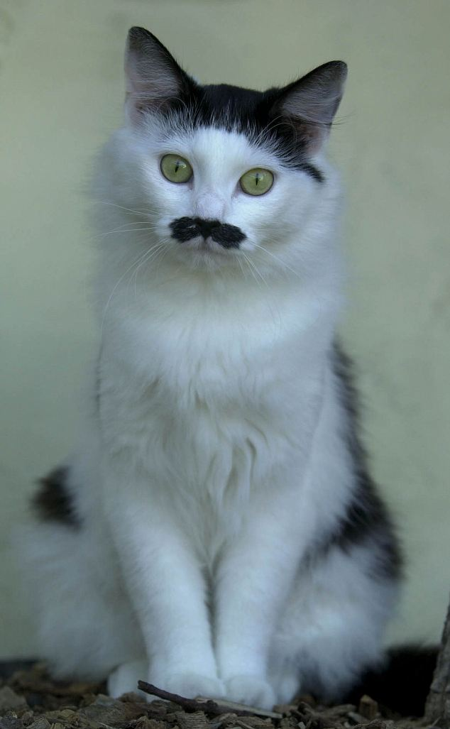 Tash the cat, know to locals as Adolf Hitler, is the pub cat of the Salerie Inn in St Perter's Port in Guernsey