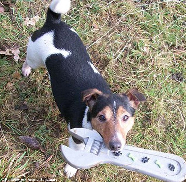 Home for vulnerable animals: Reggie the dog at the sanctuary in County Durham with a spanner toy