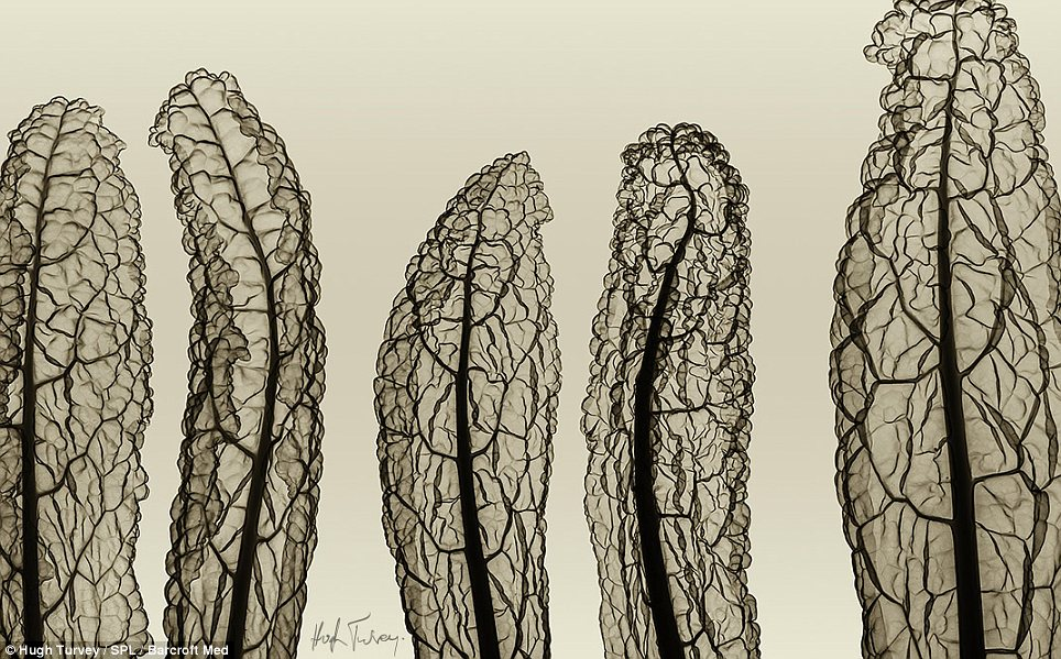 Structure: The vessels inside these fern leaves which transport food and water are exposed, revealing the elaborate structure
