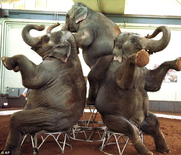 With a high level of intelligence and good memories, elephants can be trained to do almost anything, the real difficulty is in controlling the giant animals (file picture)
