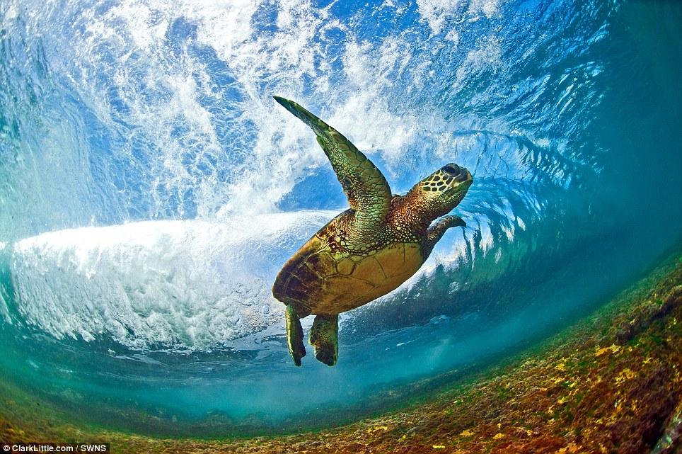 An endangered Hawaiian Green Sea Turtle (Honu in Hawaiian) swimming behind a breaking wave in the shallow waters off of the North Shore, Oahu, Hawaii