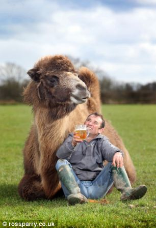 Special treat: As a treat Jeffrey, who cost £3,000 and was four-years-old when he arrived at the farm, is allowed to enjoy a pint or two of beer from the local gastropub