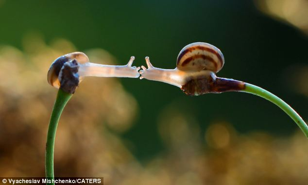 Taking things slowly: Mr Mischenko, 48, said the pair of snails 'seemed really intent on reaching one another'