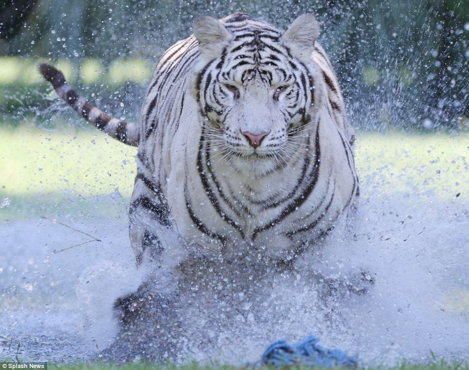 Rare New Footage Shows Three Bengal Tigers Splashing And