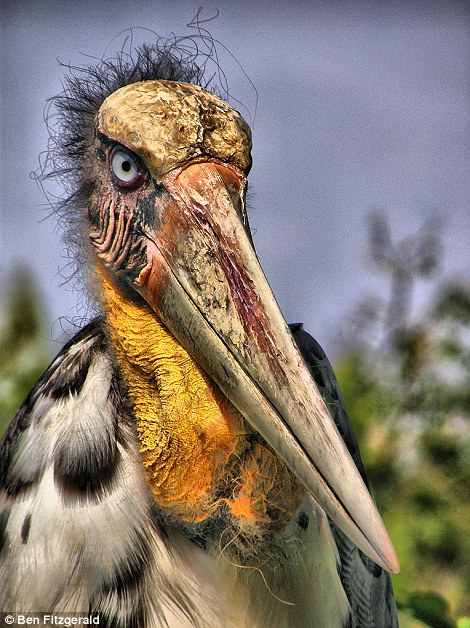 The incredible greater adjutant, looking like a prehistoric creature, is one of the birds on the list
