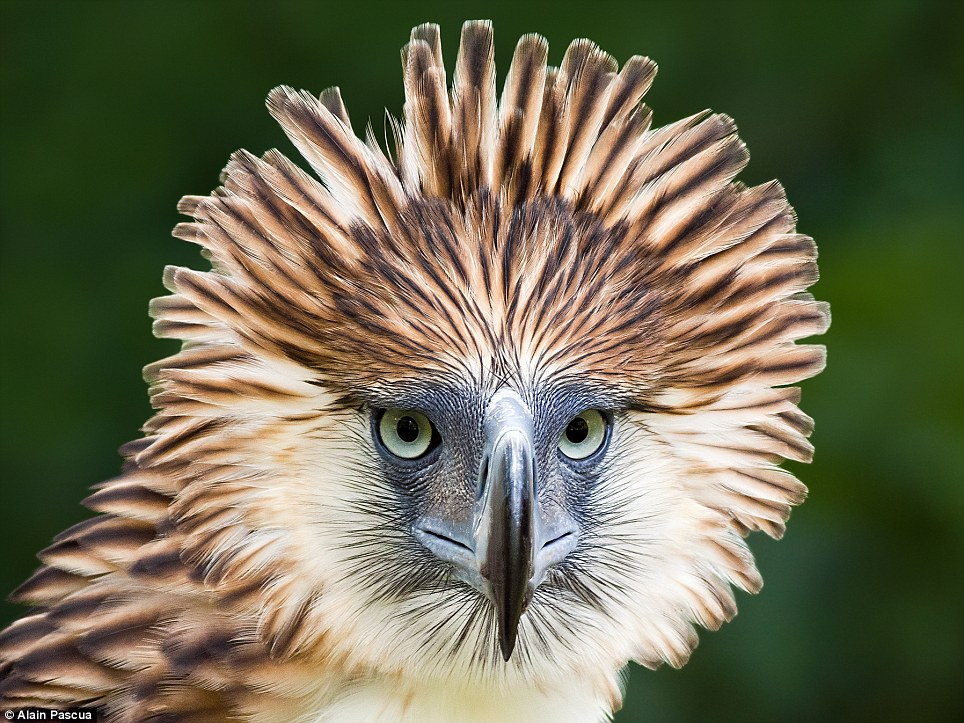 The Philippine eagle preys on monkeys and flying lemurs, but despite its strength this impressive bird is now under huge threat from deforestation as it requires an area bigger than the city of Oxford to rear a single chick. ZSL will now be spearheading a new conservation project to conserve its habitat