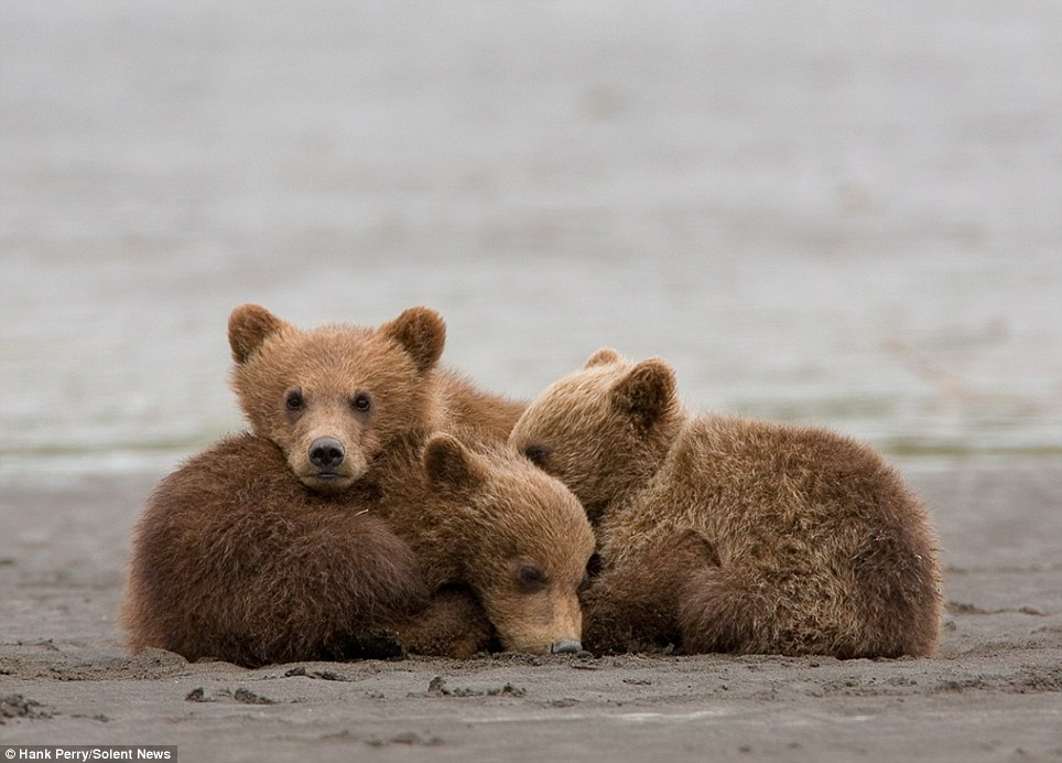Cuddling up: The three cubs curl up next to each other after they have finished feeding. One lifts its head up and glances at the camera