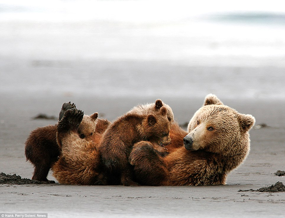 Hungry: The cubs feed on their mother as she lays back on the beach. The mother constantly feeds so she can constantly produce milk for her young
