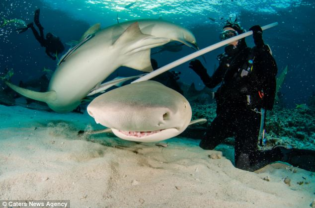 Coming through: a lemon shark takes diver Barbara Ziegler by surprise, bursting in to shot as Jeffrey Haines tries to take pictures of another shark. It appears to be grinning as it heads straight for the camera in this image taken in the Caribbean Sea off the Bahamas in January
