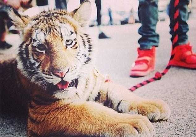 Grammy-nominated rapper Tyga could face criminal charges for illegally housing a real pet tiger