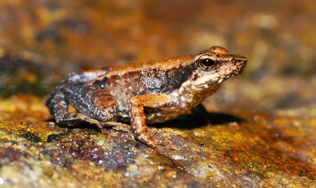 The Western Ghats, older than the Himalayas, is among the world's most biologically exciting regions, holding at least a quarter of all Indian species, and is where the frogs where found