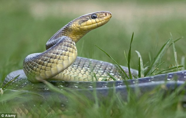Invasive: A colony of around 30 Aesculapian snakes has been living by London's Regent's Canal (file photo)