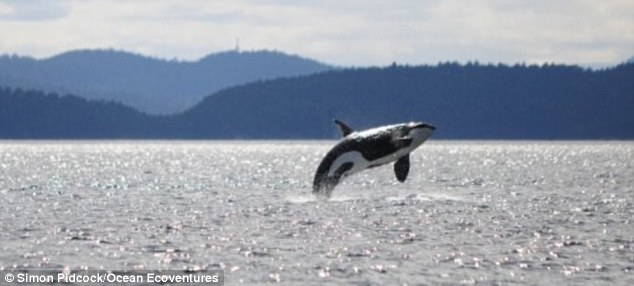 Image result for granny the orca whale