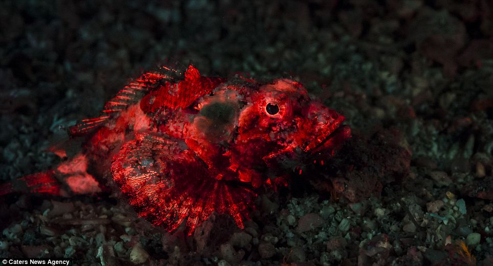 In this shot, Tyrell managed to capture the juvenile raggy scorpionfish. Although Tyrrell used red lights to illuminate this fish, adults are best recognised by the tiny light-blue 'eyes', or ocelli cells, scattered across their bodies, as well dark triangles below the eyes. Small juveniles have three distinctive white spots along the back and the species typically lives in coastal reefs, often where the fish can be well camouflaged in areas of algae and seagrass. The spines pictured along the bag are venomous