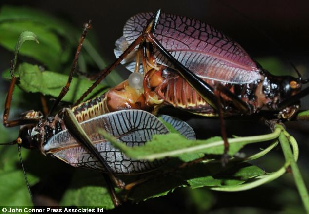 The way to a female bush cricket's heart is through her stomach: The female insects are more likely to make love if they have been 'wined and dined' first, a new study has found. Mating Mexican bush crickets, also known as katydids, are pictured