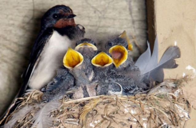 Never Mess With A Swallow Who Thinks Your Home Belongs To Him Daily Mail Online
