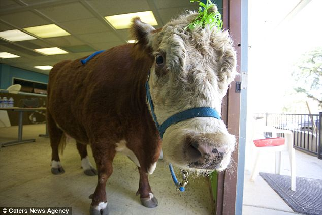 'If she goes into a room she causes mayhem - especially if she spots some snacks,' said Milkshake's main caregiver Beth DiCaprio