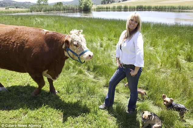 Picturesque: Now Milkshake is free to roam the golden California hills alongside her furry farm dog friends