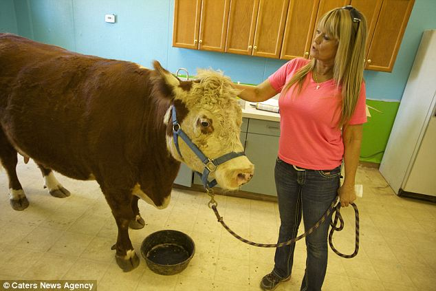 Milkshake refuses to graze like normal cows and demands she be fed from a bowl like her canine friends