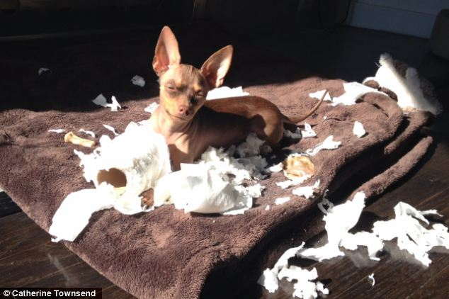 Who, me? Chihuahuas such as Winston (pictured) cause more damage than any other dog breed, a survey claims. The tiny dog causes an average of £866 worth of damage over its lifetime by ripping carpets, scratching or chewing sofas and digging up flowerbeds - and perhaps ruining its outfit